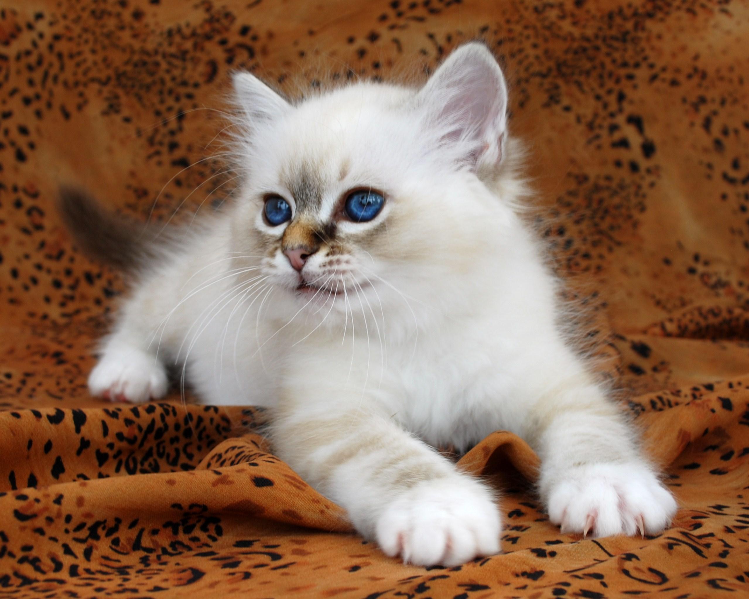 birman kitten pictures - photo #47