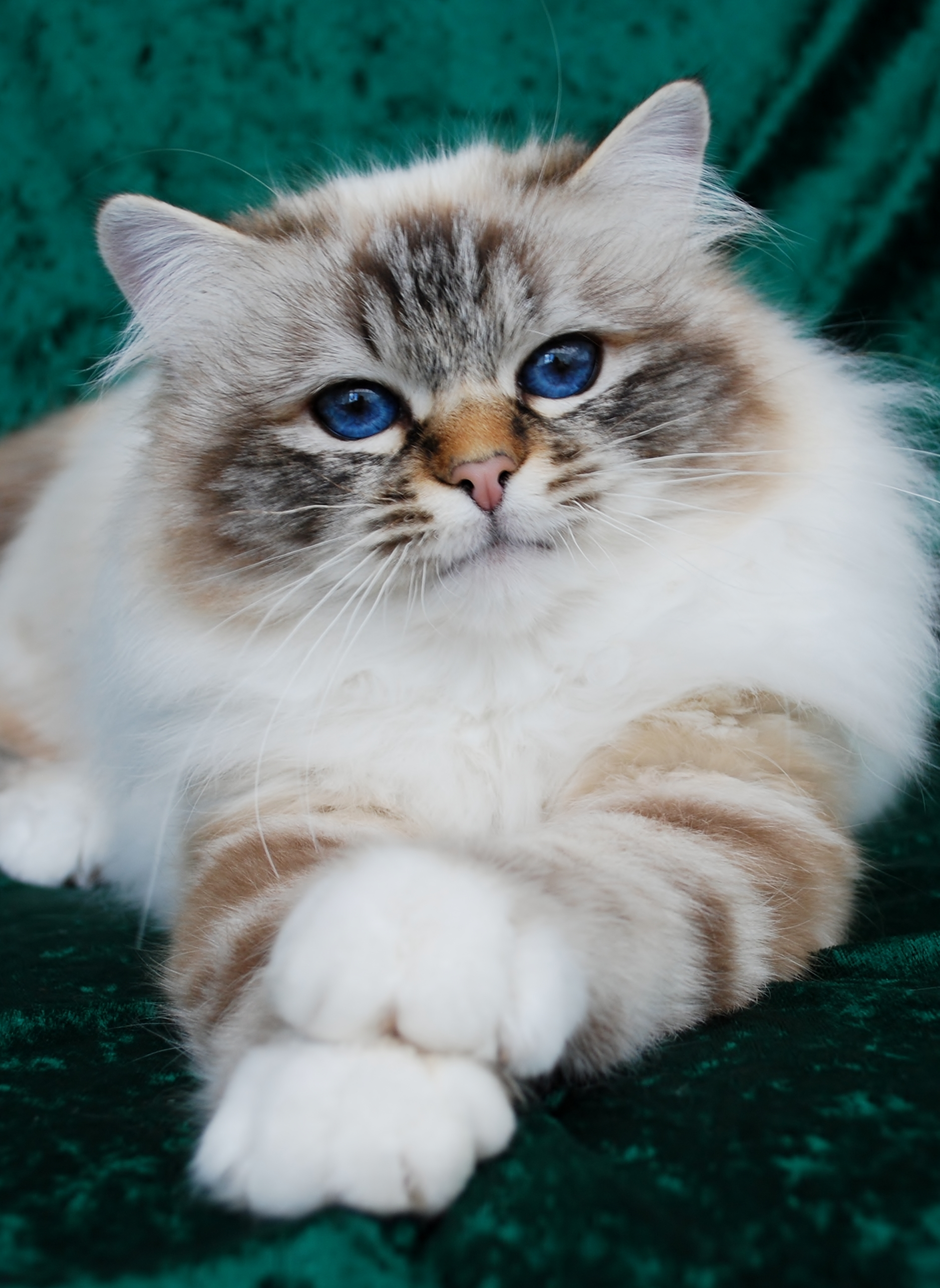 Felonie Birmans Birman Cats