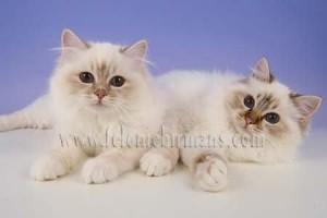 Birman Kittens For Sale Nj Felonie Birmans...