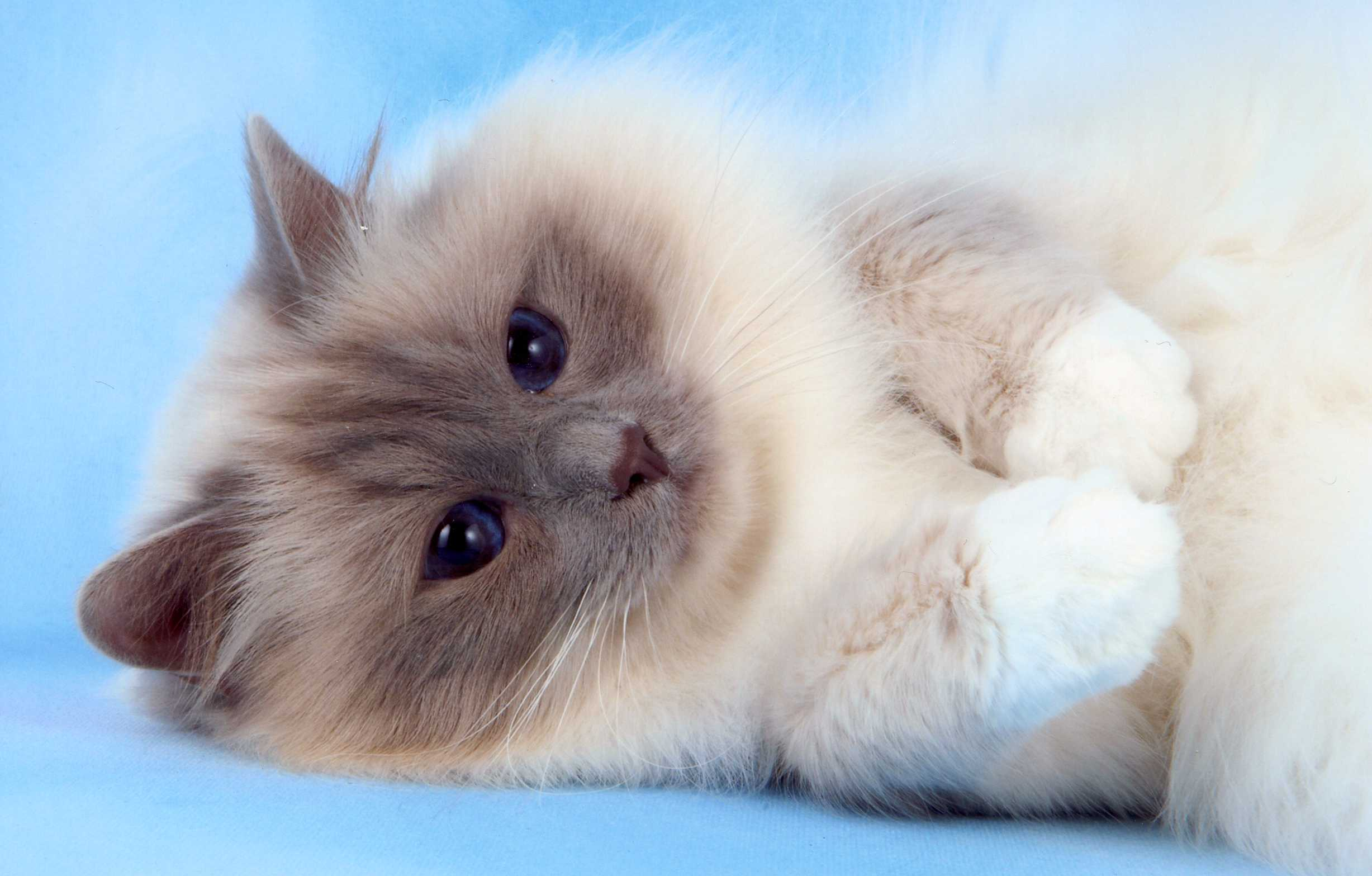 birman kitten pictures - photo #4