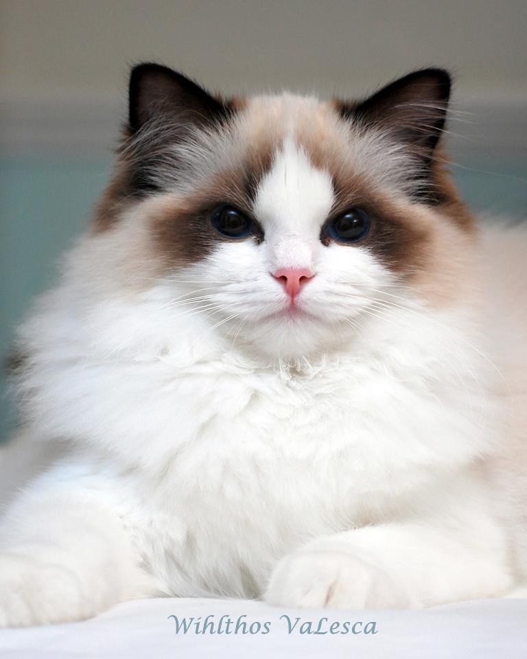 Felonie Birmans | Birman Cats | Salisbury Wiltshire