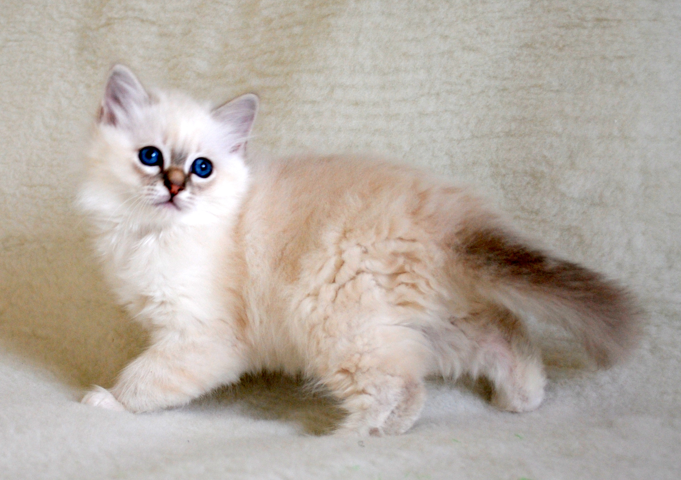 Uk Stud Services Felonie Birmans Birman Cats