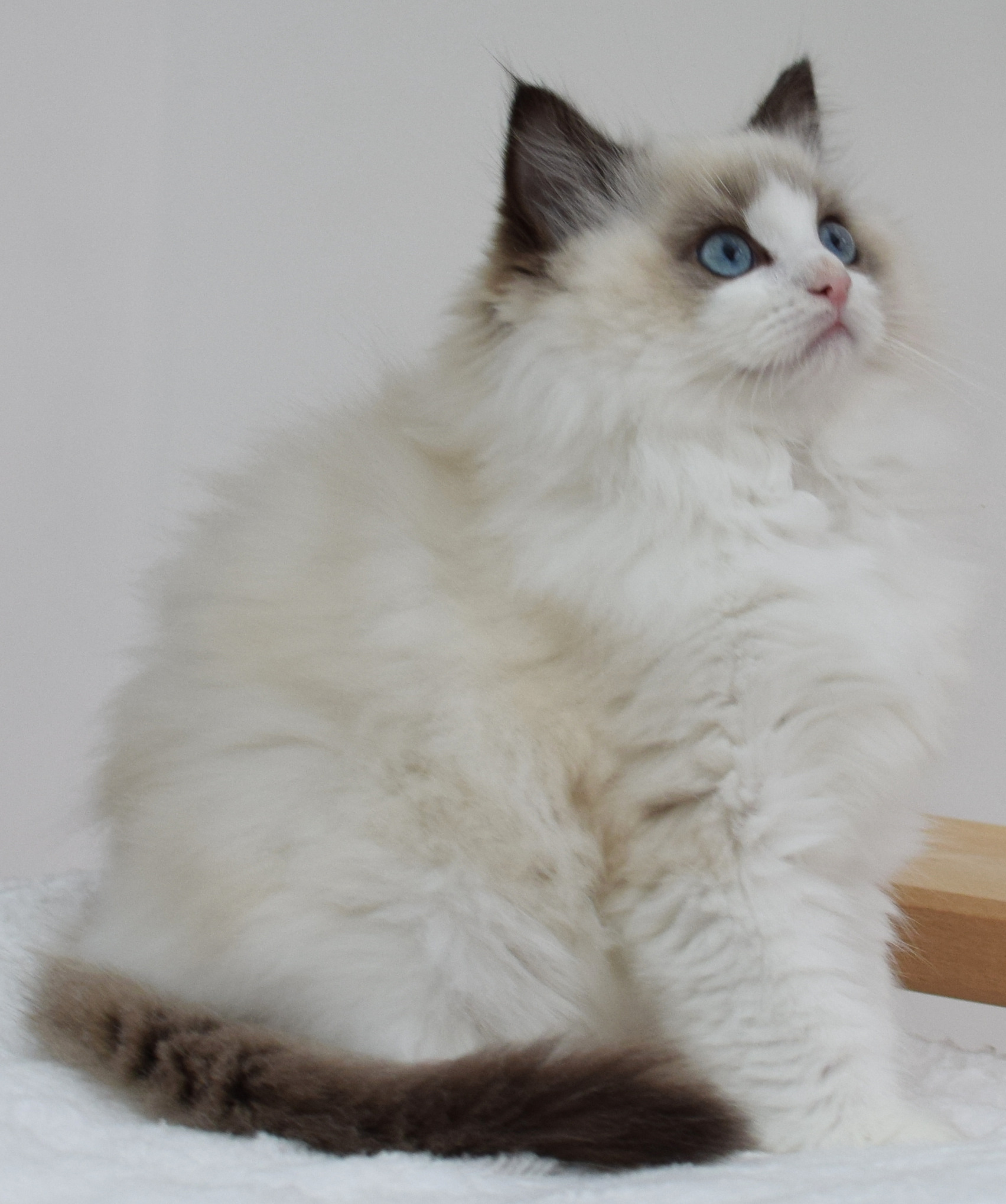 Birman Kittens For Sale Nj Ragdoll Kittens...